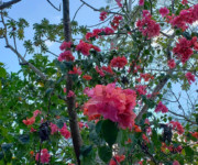 Bougainvillea trees in the Yucatan, MX